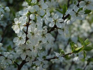 обои Весенний цвет яблони фото