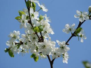 обои Веточка цветущей яблоньки фото