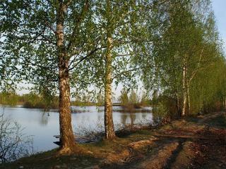 обои Летний пруд с берёзками на берегу фото