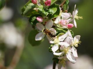 обои Пчёлка и яблонька фото