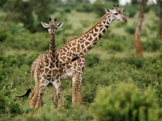 обои Жирафы на зеленых просторах фото