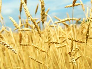 обои Золотые колоски пшеницы фото