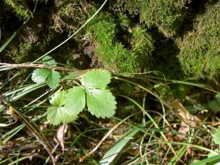 обои Листочки земляники и травы фото