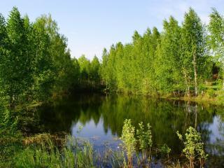 обои Тихий летний пруд, у лесных берез фото