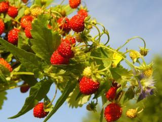 обои Букетик лесной ягоды фото