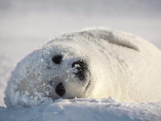 обои Лежит на снегу фото
