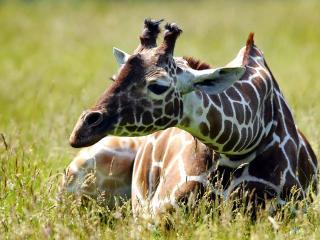 обои Жираф лежит фото