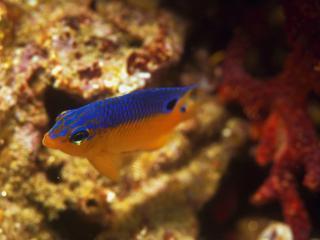 обои Желто-синяя рыбка в воде фото