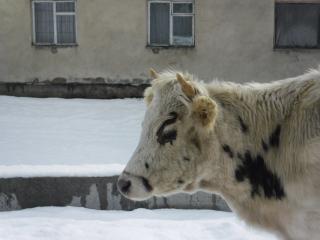 обои Корова с рожками на улице поселка фото