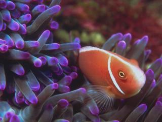 обои Красно-белая рыба на дне морском фото