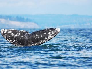 обои Из глубины хвост кита фото