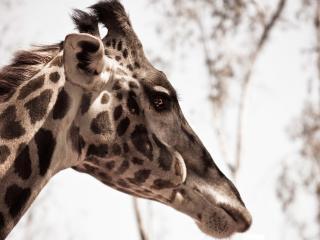 обои Голова жирафы фото