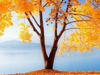обои Дерево с желтой листвой у реки фото