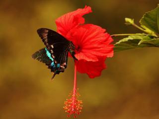 обои Гибискус и бабочка фото