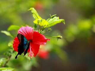 обои Бабочка и гибискус фото