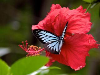 обои Бабочка с голубой расцветкой фото