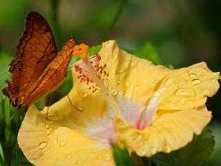 обои Коричневая бабочка на жёлтом цветке фото