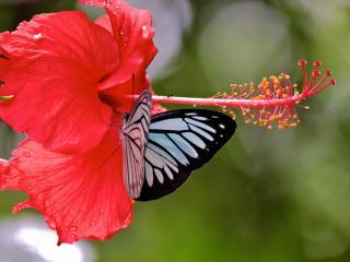 обои Красивая бабочка и цветок Гибискус фото
