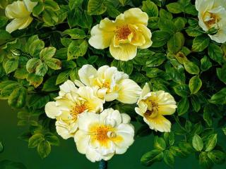 обои Розы жёлтые с бутонами фото