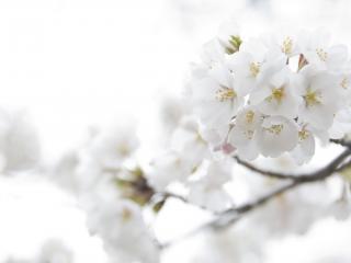обои Белая яблоня в самом цвету фото