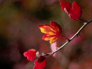обои Багровые кленовые листья,   осень фото
