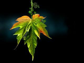 обои Яркий кленовый лист в темноте фото