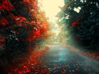 обои Кленовые деревья вдоль дороги,   опавшие листья,   осень фото