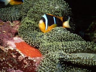 обои Богатый подводный живой мир,   рыбка черно-золотой раскраски фото