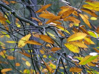 обои В ветвях осеннего дерева,   желтые осенние листья фото