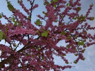 обои Цветущие малиновые ветви  фото