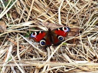 обои Бабочка на сене фото