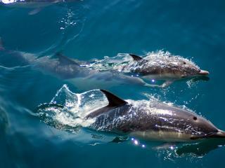 обои Дельфины плывущие в голубых вода фото