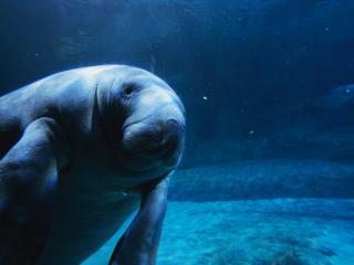 обои Морской слон в водной бездне фото