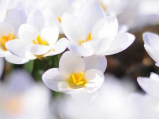 обои Белый цвет весны фото