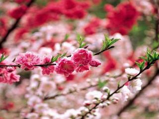 обои Две цветущих веточки сакуры фото