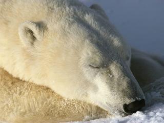 обои Белый медведь спит фото