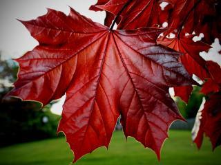 обои Клиновый красный лист фото