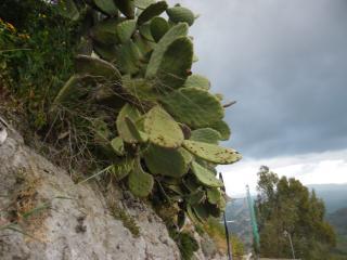 обои Кактусы Сицилии фото