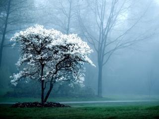 обои Цветущее весеннее дерево, на лугу у аллеи,   туман фото