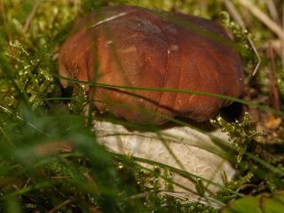 обои Боровик среди травы фото