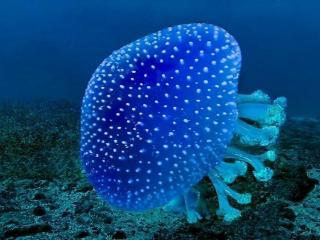 обои Голубая медуза фото