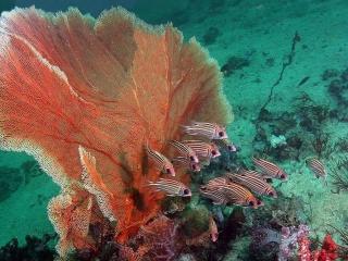 обои Полосатые рыбки и красный цветок фото