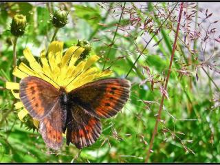 обои Бабочка,   мать-мачеха и травинки фото