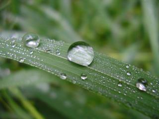 обои Капли и роса на длинном листочке фото