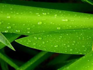 обои Мечевидный зеленый листок с каплями фото