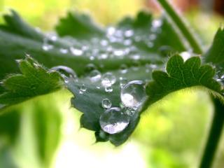обои Мохнатый,   зеленый листок и большие капли росы фото