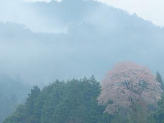 обои Весеннее дерево в тумане холмов фото