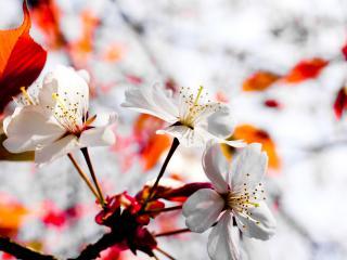 обои Цветение дерева с красными листьями фото
