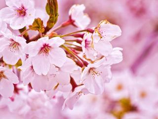 обои Цветущая веточка в розовых тонах фото