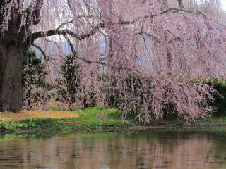 обои Розовое цветущее дерево над прудом, весной фото